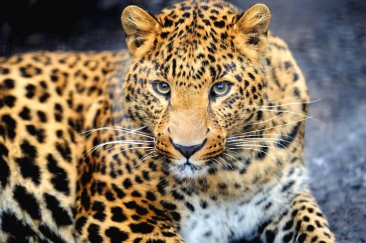 Снежный барс, Пантера и иные тотемы кошачьих. Значение и характеристика символов